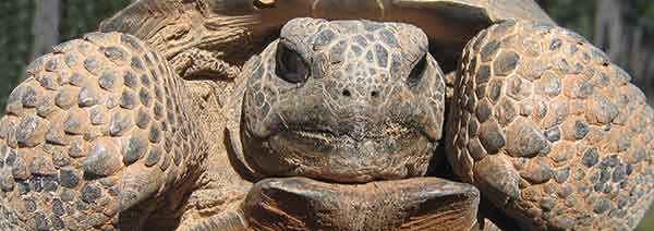 closeup of adult gopher tortoise
